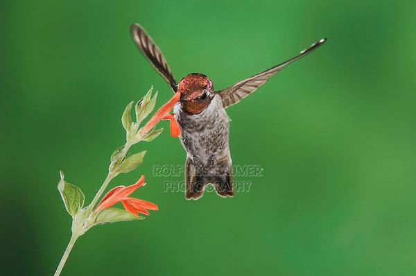 Anna's Hummingbird, Calypte anna, male in flight feeding on flower,Tucson, Arizona, USA, September 2006