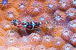 Syacium micrurum, Channel flounder, Roatan