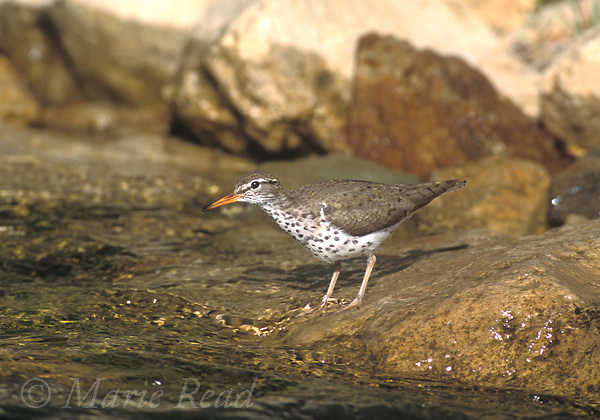 Spotted Sandpiper (Actitis macularia) adult in breeding plumage, Rush Creek, Mono Basin, California, USA<br /> Slide # B53-141