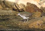 Spotted Sandpiper (Actitis macularia) adult in breeding plumage, Rush Creek, Mono Basin, California, USA<br /> Slide # B53-141