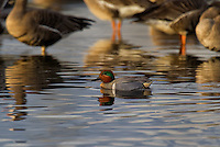 581400001 a wild drake or male green-winged teal anas crecca swims in a shallow pond at colusa national wildlife refuge in california