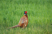 Ring-necked Pheasant, Phasianus colchicus,male, National Park Lake Neusiedl, Burgenland, Austria, April 2007