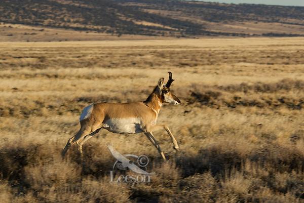Pronghorn Antelope (Antilocapra americana) buck running.  Western U.S., fall.