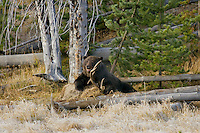 GRIZZLY BEAR (Ursus arctos) guarding a bull elk kill.   Greater Yellowstone Area.  Fall.
