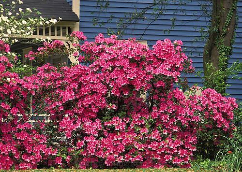 Blooming pink azaleas with dogwood tree next to blue painted wooden house in spring southern USA