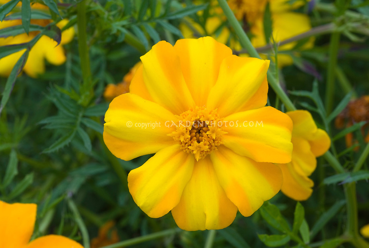 Tagetes patula La Bamba marigolds annual flowers in gold and yellow two tone . Tagetes La Bamba