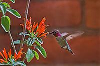 Male Anna's Hummingbird (Calypte anna) feeding on mexican firecracker flowers.
