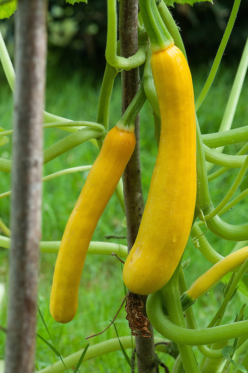 Courgette 'Shooting Star', mid September. A climbing yellow vartiety.