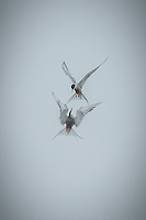 Duelling Arctic Terns