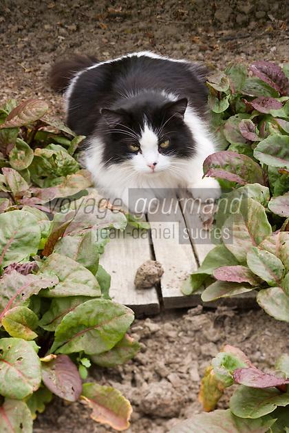 Europe/France/Bretagne/35/Ille et Vilaine/Bonnemain: Chat  dans le  Jardin de Nadia  Romé à la Ferme des  Portes (herbes aromatiques,mesclun, légumes rares, volailles)