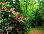 Tacoma, WA         <br /> Flowering native Pacific rhododendron (R. macrophyllum) along a path in an old growth forest.  <br /> Rhododendron Garden, Point Defiance Park