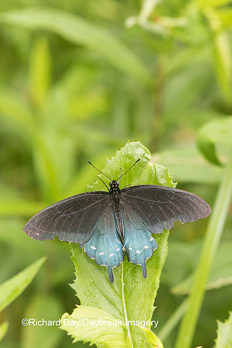 03004-01420 Pipevine Swallowtail butterfly (Battus philenor)  male, Marion Co., IL