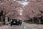 "A woman, who went by the name of Miki, takes photos of the cherry blossom along a street famed for having one of Japan's longest cherry blossom ""tunnels"" in Tomioka, Fukushima Prefecture one Japan on Wednesday 20 April  2011. The woman, a former nuclear power plant employee, was visiting the town -- which falls inside now legally enforced evacuation zone -- to see the famed cherry trees and pick up some belongings from her home..Photographer: Robert Gilhooly"
