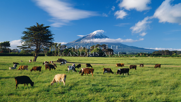 Cows grazing on a dairy farm in Delvin.  Mount Taranaki (Egmont) in background. Taranaki Region. New Zealand.