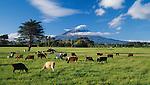 Cows grazing on a dairy farm in Delvin.  Mount Taranaki (Egmont) in background. Taranaki Region. New Zealand.