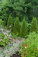 Edible garden, staked tomatoes, flowering lambsears and hosta, evergreen hedges