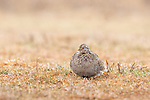 A sharp-tailed grouse asleep on a northern Wisconsin lek.