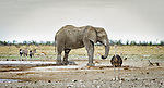 Okaukuejo Waterhole is one of the most populated areas of Etosha National Park.  Our visit on this morning was all we could ask for.
