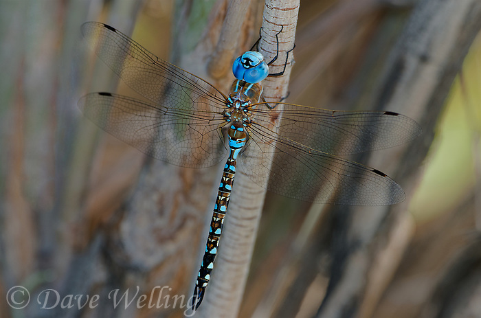 339360070 a wild male blue-eyed darner rhionaeschna multicolor perches on a plant branch along jean blanc canal near bishop califorina
