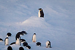 Penguins hauled out on the ice near Brown Bluff, Antarctica