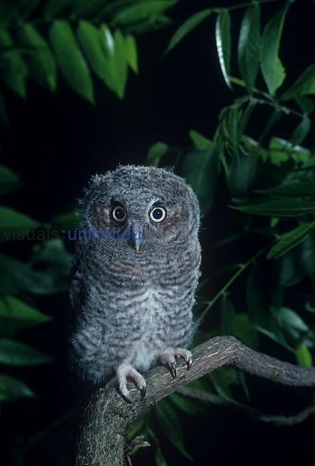 Young Eastern Screech Owl ,Otus asio,, Eastern North America.