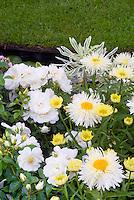 Rosa Flower Carpet White= Noaschnee AGM groundcover + Leucanthemum 'Gold Rush' = L. x superbum 'Goldrausch' + Euphorbia, white and yellow color planting theme combination