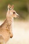Eastern Grey Kangaroo (Macropus giganteus) joey, Mount Taylor Nature Reserve, Canberra, Australian Capital Territory, Australia