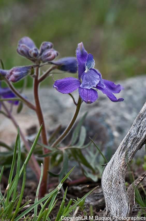 Plains Larkspur
