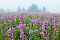 A dense fog creates a soft blanket of light over a meadow of blooming fireweed in Alaska.