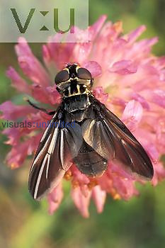Tachinid Fly ,Trichopoda formosa,, Ohio.