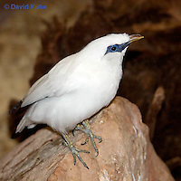 1113-0806  Bali Starling (Bali Mynah), Critically Endangered Bird, Leucopsar rothschildi © David Kuhn/Dwight Kuhn Photography