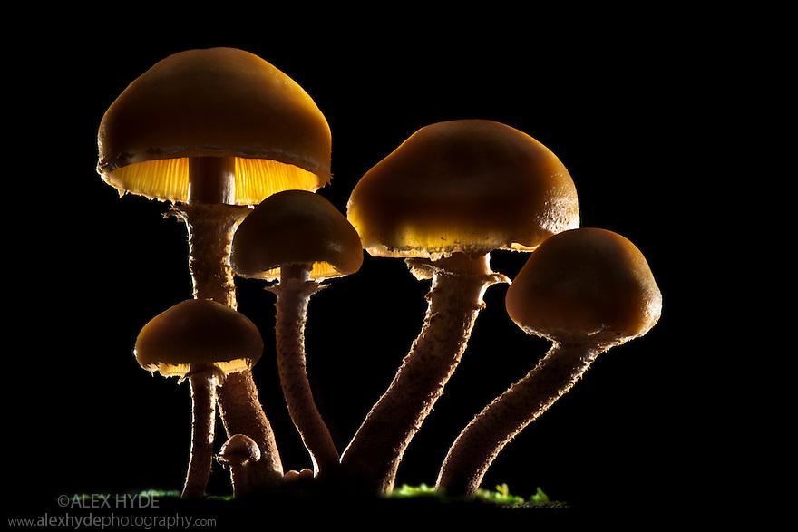 Brown Stew Fungus {Kuehneromyces mutabilis} backlit. Tirol, Austrian Alps