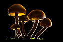 Brown Stew Fungus {Kuehneromyces mutabilis} backlit. Tirol, Austrian Alps