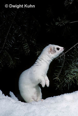 MA28-044z  Short-Tailed Weasel - ermine exploring forest for prey in winter - Mustela erminea