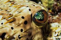 Eye of a Pufferfish<br /> Virgin Islands
