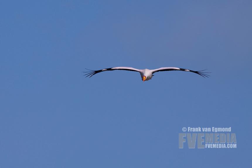 Yellow-billed Stork (Mycteria Ibis)..Nsumo pan..May 2009, winter..uMkhuze Game Reserve, Kwazulu-Natal, South Africa.
