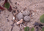 snowy plover nest with 3 eggs