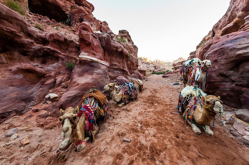 Camels, Petra Archaeological Park (a UNESCO World Heritage Site), Petra, Jordan.