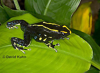 1023-07uu  Dendrobates tinctorius ñ Dyeing Poison Arrow Frog ñ Tincs Dart Frog © David Kuhn/Dwight Kuhn Photography