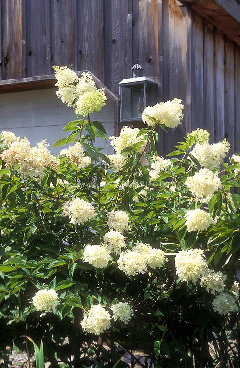 Hydrangea paniculata 'Grandiflora' (PeeGee Hydrangea) against wood house