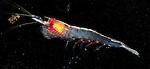 Antarctic krill, Euphausia superba, Southern Ocean, Antarctica
