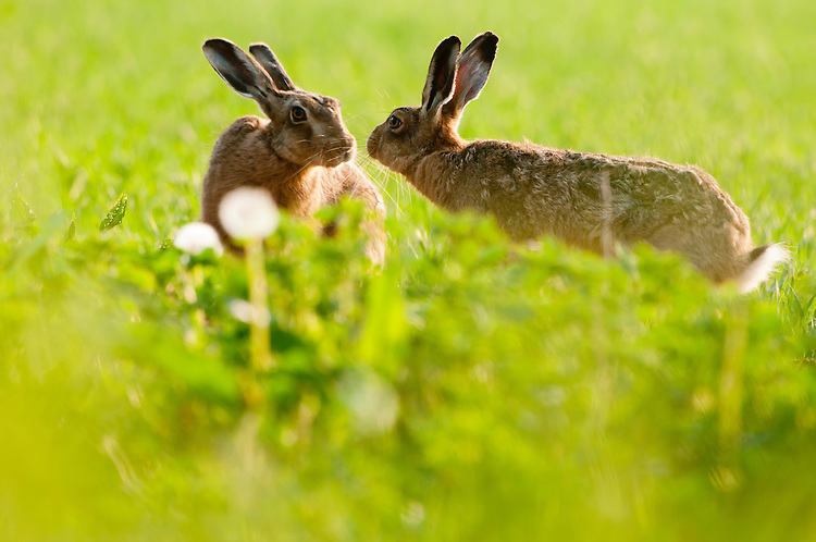Brown or European hare, Lepus europaeus, in wheat field. Pair showing intimate behaviour during the breeding season. Calmsden, near Cirencester, Gloucestershire. UK.