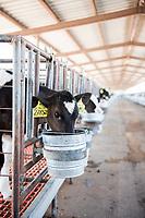 Calfs feeding at El Principal ranch, the biggest ranch providing milk to Alpura, Delicias, Chihuahua, Mexico