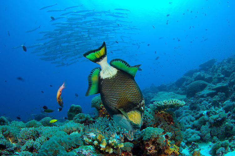 Titan triggerfish: Balistoides viridescens, picking at coral with Barracuda school visible in background, Solomon Islands