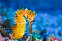 Common seahorse, Hippocampus kuda, estuary seahorse, yellow seahorse, spotted seahorse, Gewöhnliches Seepferdchen, Bitung, Lembeh Strait, North Sulawesi, Celebes Sea, Indo-Pacific, Indian Ocean, Indonesia