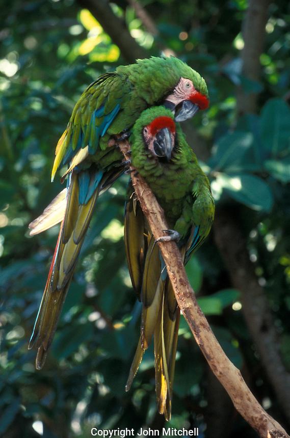 Pair of scarlet macaws at the La Venta Park Museum in Villahermosa, Tabasco, Mexico