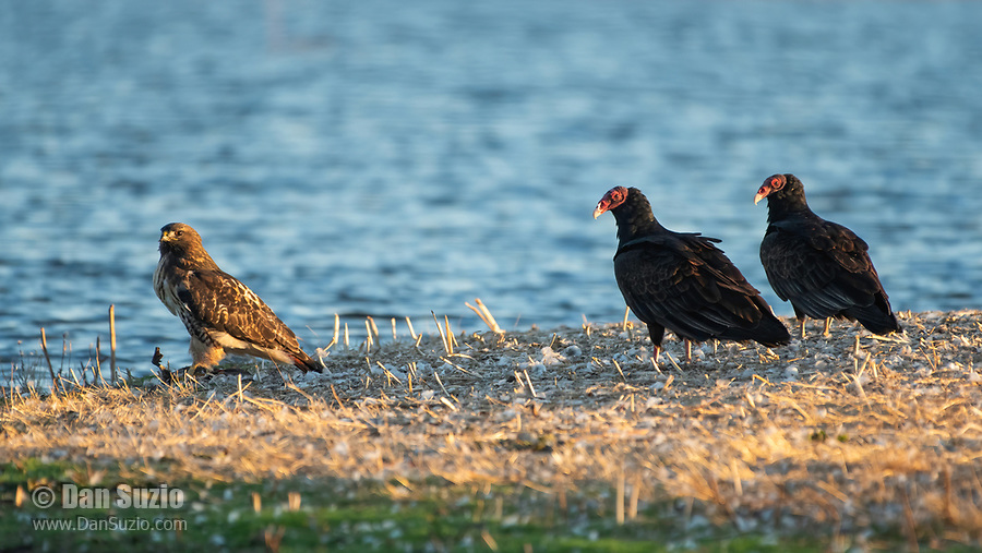 A Red-tailed Hawk, Buteo jamaicensis, and two Turkey Vultures, Cathartes aura, perch together on the ground at Sacramento National Wildlife Refuge, California