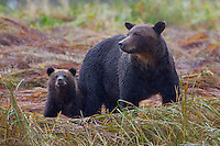Grizzly Sow and Cub standing in the pouring rain