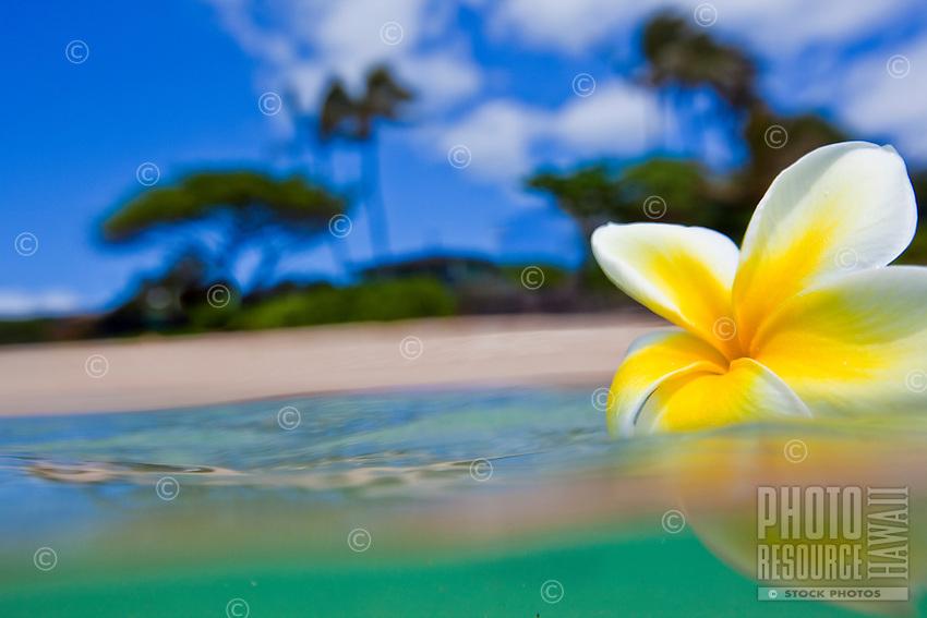 Plumeria floating in the ocean