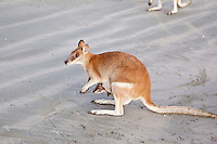 Agile Wallaby w Joey, Cape Hillsbourough NP, Queensland, Australia